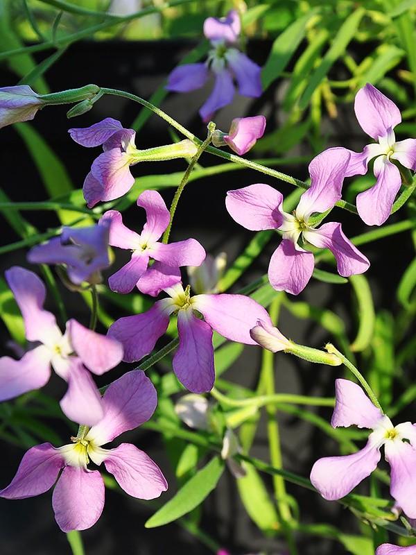 цветы маттиола двурогая лилак фото